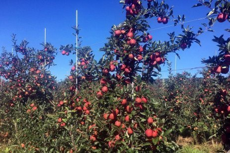 Apple PGRs - Shifting Harvest Window of Gala a Risk in Warmer Climates