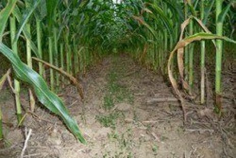 Cover Crop Interseeder: Impacts on Corn Yield