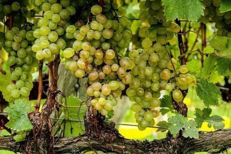 Managing Sour Rotted Fruit in the Cellar