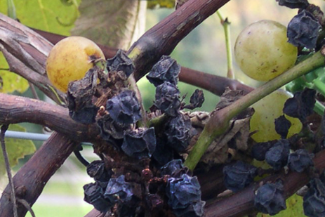 Grape Disease - Black Rot