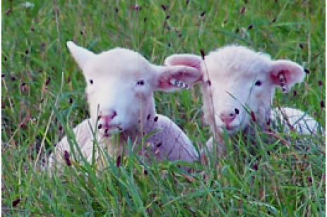 Do Your Sheep Receive Optimal Nutrition?