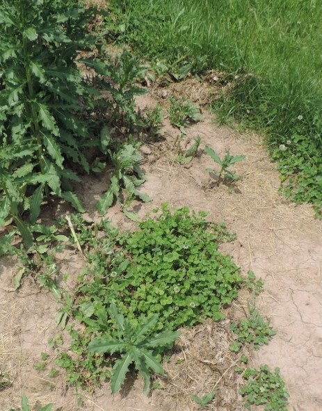 Orchard Weed Control - Weed Monitoring and Integrated Management