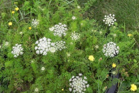 Orchard Weed Control - Wild Carrot