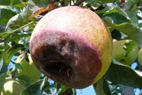 Apple Diseases - Fruit Rots, Control at Apple Harvest (and Postharvest)