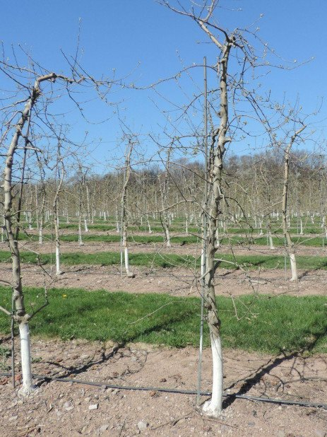 Apple Rootstocks: Capabilities and Limitations