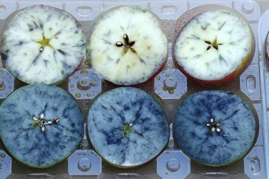 Fruit Harvest - Determining Apple Fruit Maturity