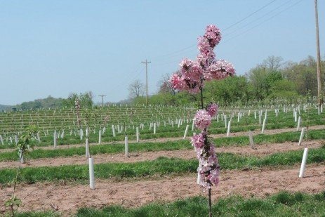 Orchard Pollination: Pollinizers, Pollinators and Weather