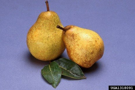 Ripening European Pears from the Home Orchard