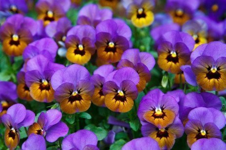 Pansy Diseases