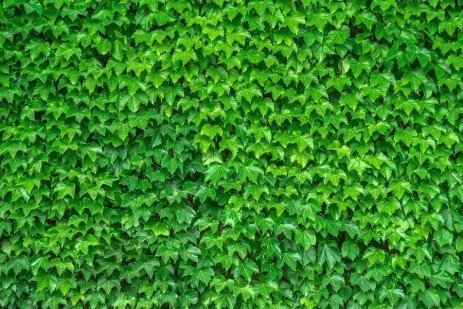 Boston Ivy (Parthenocissus) Disease