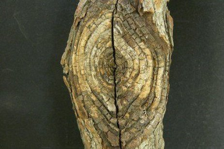 Cankers of Hardwood Deciduous Trees