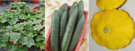 Container Grown Cucumbers, Zucchini and Squash