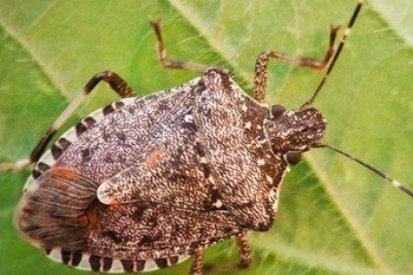 What's that Smell? The Stinkbugs are Back!