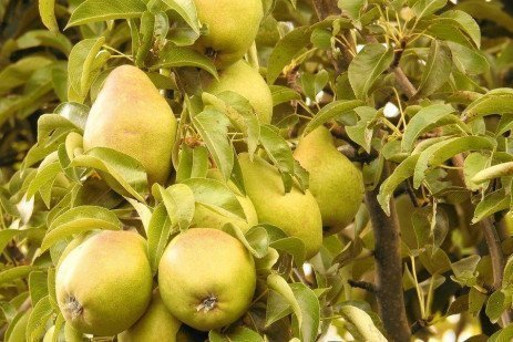 Home Orchards: Table 4.5. Efficacy of Fungicides on Apples and Pears