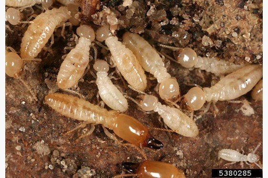 Pesticide Applicator Certification Study Materials - Wood Destroying Pests
