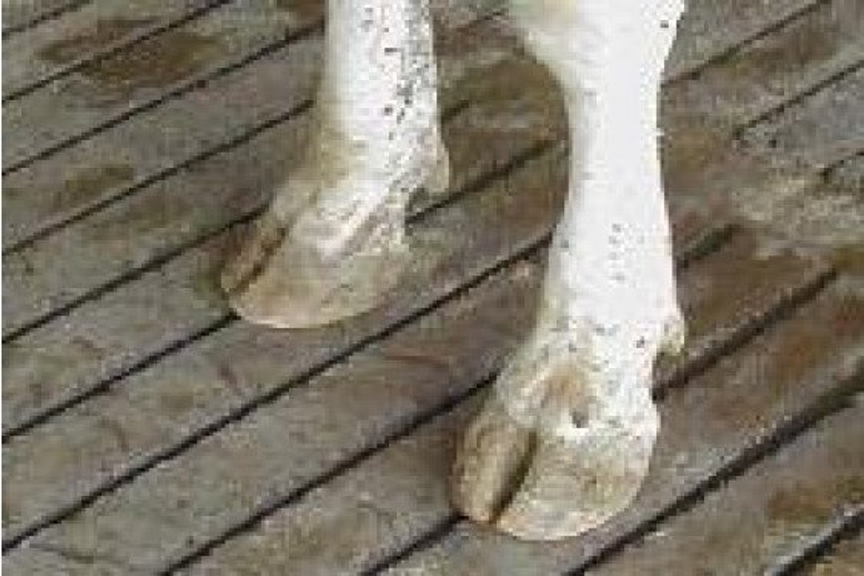 Cattle Health: Feet and Floors