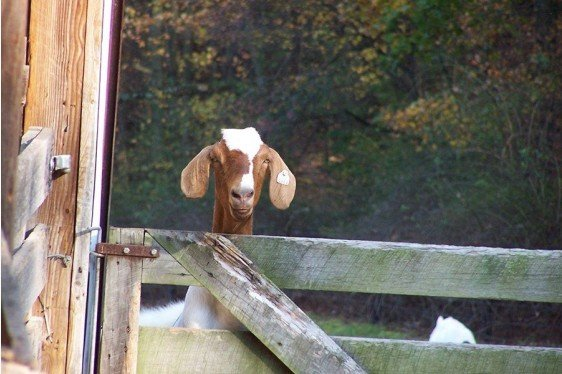 Meat Goat Production and Management Home Study Course