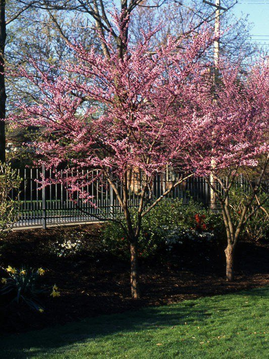 Eastern Redbud: A Superb Tree for Almost Any Landscape