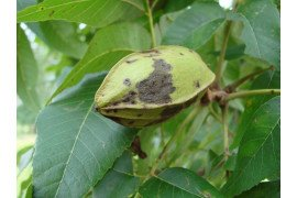 Hickory Diseases