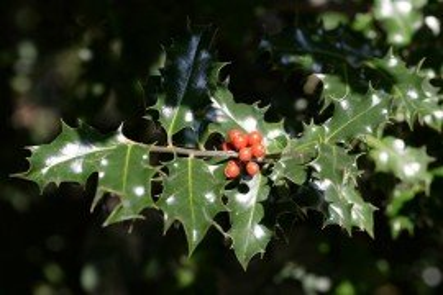 Holly Diseases
