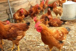 Hot Weather Management of Poultry