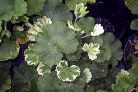 Phytotoxicity from the insecticide Spirotetramat on geraniums. Photo: Thomas G. Ford