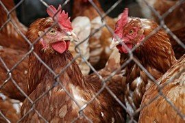 Avian Influenza Virus (AIV) Should the Mushroom Industry Be Concerned?