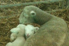 Let's Weigh Those Lambs and Kids!