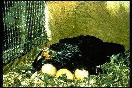How the Chicken Incubates Eggs Naturally