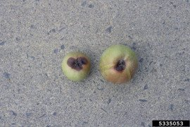 Blossom End Rot of Apple in the Home Fruit Planting