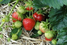 Strawberry Insect and Disease Control - Good Practices