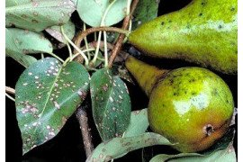 Pear Leaf Spot in the Home Fruit Planting