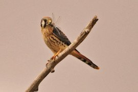Managing Habitat for American Kestrels