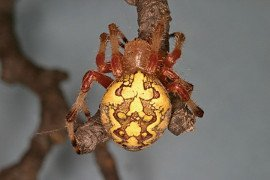 Araneus marmoreus female. Photo by Steven Jacobs, Penn State Extension