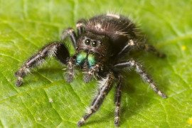 Phidippus audax showing green chelicerae. Photo by Ryan Kaldari, WikiMedia