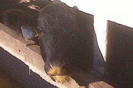 Cattle can consume ethanol byproducts, like distillers grains.