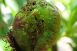 Tree Fruit Insect Pest - Green Peach Aphid