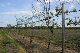 Riesling vines that show severe dieback due to winter kill. Photo: Bryan Hed