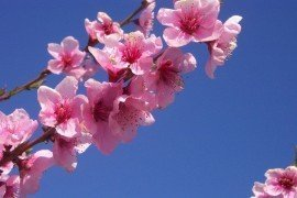 Tree Fruit Bloom Stages - Peach