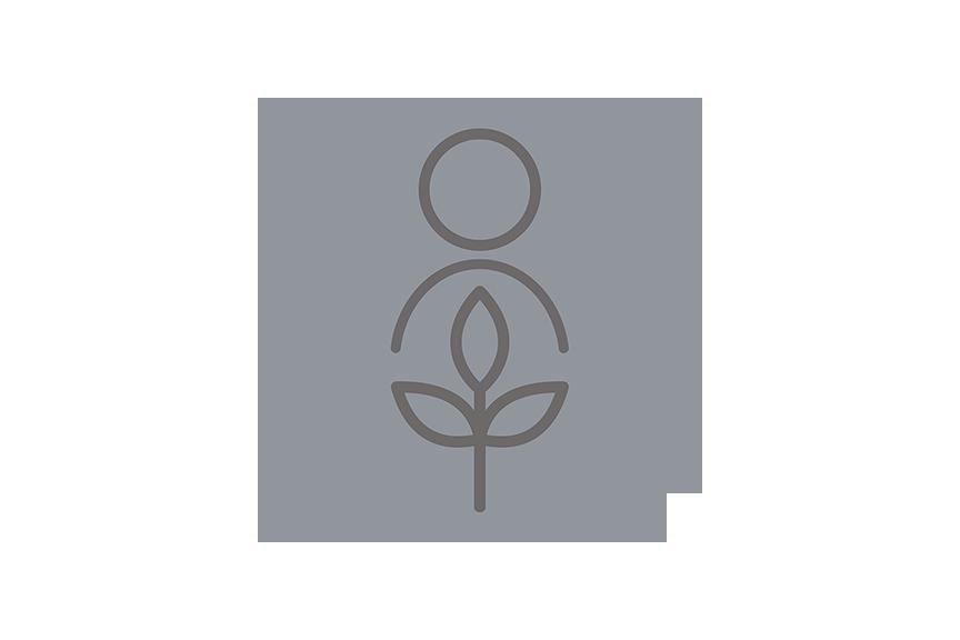 Osmia cornifrons on an apple blossom. Photo: David Biddinger