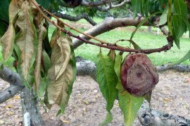 Brown rot can cause shoot blight. (Photo: K. Peter)