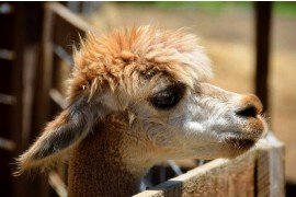 Llama and Alpaca Research Opportunities
