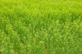 Camelina Production and Potential in Pennsylvania