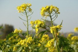 Spring Canola in Pennsylvania: Production and Agronomic Recommendations