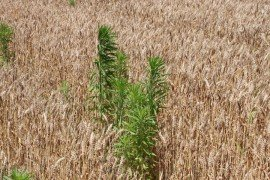 Horseweed/Marestail in winter wheat can create problems for double-crop soybeans (image by Chris Drake, Virginia Cooperative Extension).