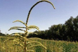 Invasive Pigweeds: Palmer Amaranth and Waterhemp