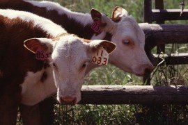Weaning Calves to reduce stress