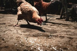 Leg and Foot Disorders in Domestic Fowl