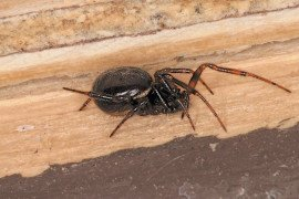 Steatoda grossa female. Photo by Steven Jacobs, Penn State Extension