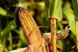 Armyworm as a Pest of Field Corn